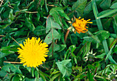 Dandelion flower opening (sequence)