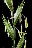 Flowers of couch grass (Agropyron repens)