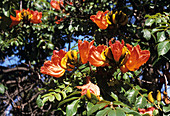 African tulip tree flowers