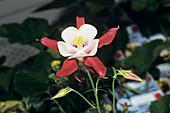 Aquilegia 'Crimson Star' flower