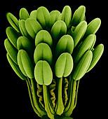 Columbine flower stamens,SEM