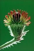 Unripe seed head of agrimony plant