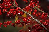 Feverbush berries (Ilex verticillata)
