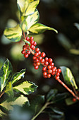 Holly (Ilex altaderensis 'Lawsoniana')