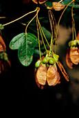 Montpelier maple (Acer monspessulanum)