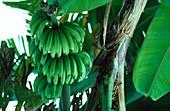 Stem of green bananas