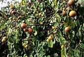 Pear (Pyrus longipes)