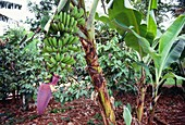 Banana tree with fruit