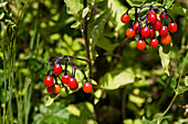 Bittersweet berries (Solanum dulcamara)