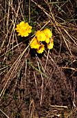 Spring Adonis