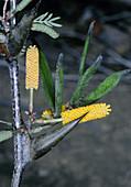 Acacia sp