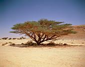 Common Acacia