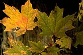 Rock Maple (Acer saccharum)