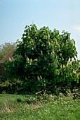 Horse Chestnut. (Aesculus hippocastanum)
