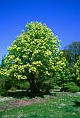 Horse Chestnut. (Aesculus hippocastanum '
