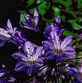 African Blue Lily. (Agapanthus Headbourne Hybrid)