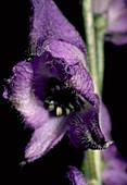 Monkshood. (Aconitum napellus subsp. napellus- Anglicum Group)