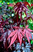 Japanese Maple. (Acer palmatum 'Bloodgood')