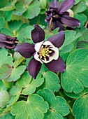 Aquilegia flabellata Jewel Purple