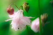 Columbine flower (Aquilegia sp.)