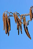 Male alder catkins (Alnus glutinosa)