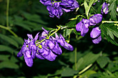 Monkshood flowers (Aconitum variegatum)