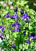 Columbine flowers (Aquilegia glandulosa)