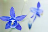 Columbine flowers (Aquilegia sp.)