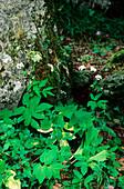 Ground-elder (Aegopodium podagraria)