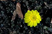 Amur adonis flower (Adonis amurensis)