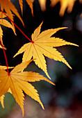 Japanese maple (Acer 'Sango Kaku')
