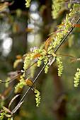 Acer davidii 'Snakebark maple'
