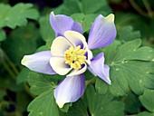 Aquilegia 'Spring Magic Blue and White'