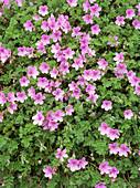 Erodium 'Merstham Pink'