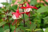 Fuchsia (Fuchsia 'White General Monk')