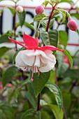 Bush fuchsia (Fuchsia 'Moonbeam')
