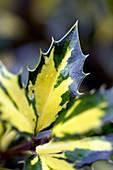 Holly leaves (Ilex aquifolium)