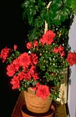 Rhododendron Hinode-giri