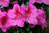 Indoor azalea (Rhododendron simsii)