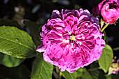 Rose (Rosa 'Du a Fleurs Purpres')
