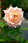 Hybrid tea rose (Rosa 'Ecole d' Ecully')