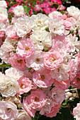 Rose (Rosa 'Grain de Beaute')