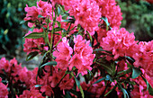 Rhododendron 'Cary Anne'