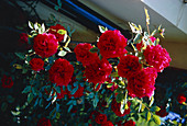 Roses (Rosa 'Etoile De Holland')