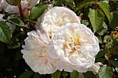 Floribunda roses (Rosa 'Gruss an Aachen')