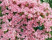 Kurume azalea (Rhododendron x obtusm)
