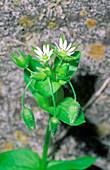 Chickweed (Stellaria media ssp. media)