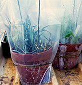 Cuttings of Pinks