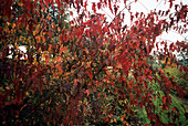Tatarian maple (Acer tataricum ginnala)