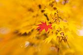 Japanese maple (Acer palmatum)